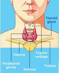 Your Thyroid Gland British Thyroid Foundation